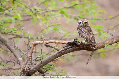 Spotted Owlet - India