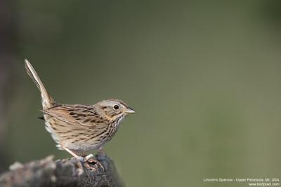 Lincoln's Sparrow - Upper Peninsula, MI, USA