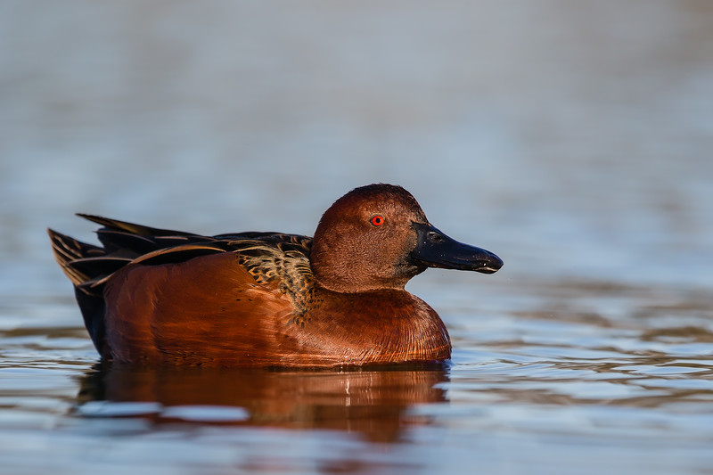 Cinnamon Teal - Male - Radio Road, Redwood City, CA, USA