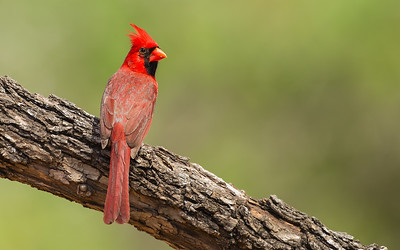 Northern Cardinal - Male -  Edinburg, TX, USA
