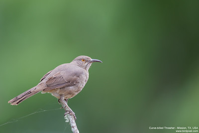 Curve-billed Thrasher - USA