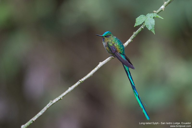 Long-tailed Sylph - San Isidro Lodge, Ecuador