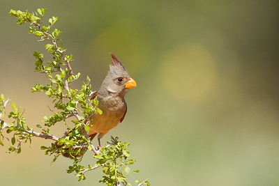 Pyrrhuloxia - Edinburg, TX, USA