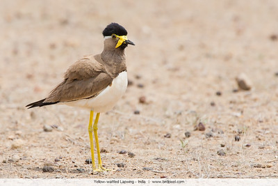 Yellow-wattled Lapwing - India