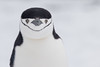 Chinstrap Penguin - Antarctica