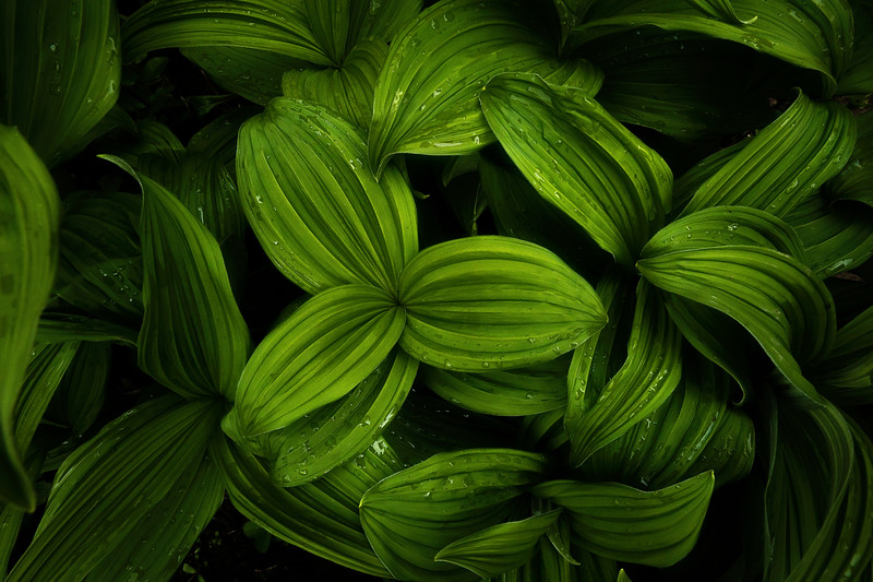 False Hellebore in Mount Robson Provincial Park.