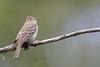 White-crested Elaenia - Tierra del Fuego NP, Argentina