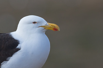 Kelp Gull - Chile