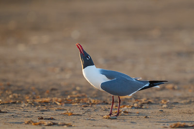 Laughing Gull - USA