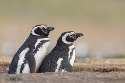 Magellanic Penguin - Chile
