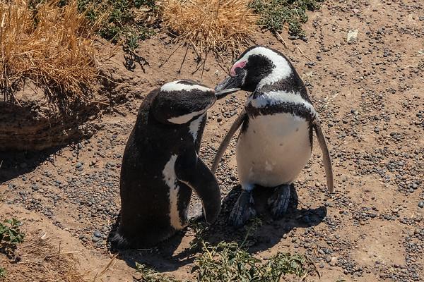 French Kissing Penguins