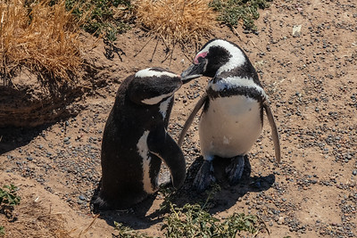 French Kissing Penguins