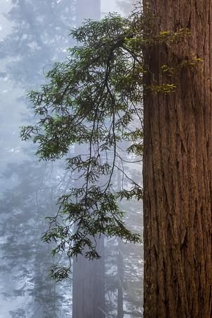 Graceful Redwood