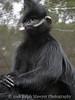 Black Mangabey (Lophocebus Aterrimus) at San Antonio Zoo