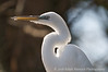 Sunning egret at San Antonio Zoo