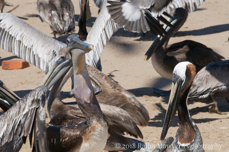 Pelicans feeding on fisherman's scraps at the beach, La Penita de Jaltemba, Mexico. Instead of throwing the remains in the trash or on the beach fisherman place the remains in a hole for the natural garbage collectors, keeping the area clean.