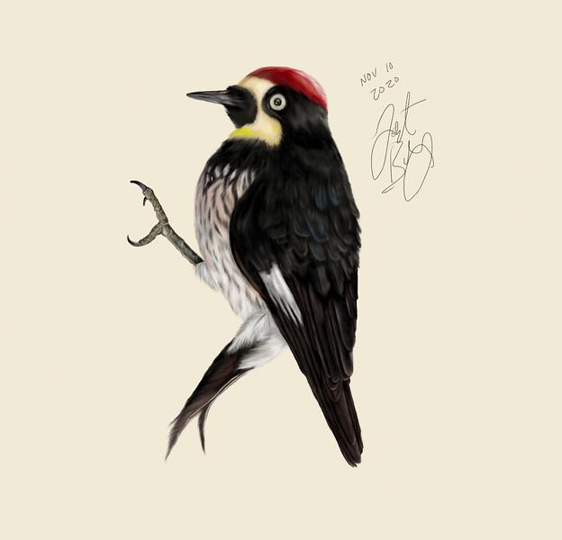 Acorn woodpecker (Melanerpes formicivorus) mixed media illustratiion
