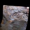 Eocene bony fish, uncertain origins, Utah