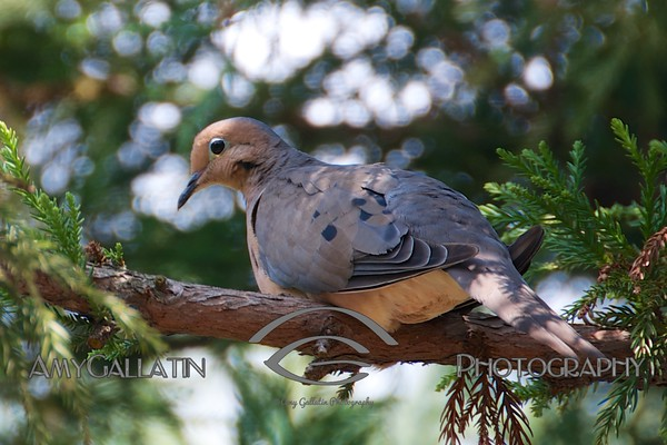 """Mourning Dove"" © Amy Gallatin"