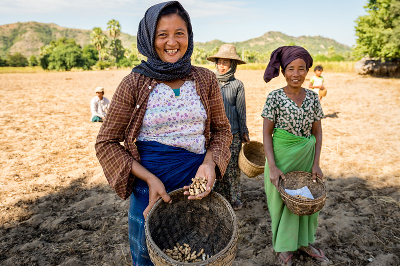 Peanut farmers in Bagan, Myanmar show me their crop