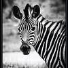 """BLACK ON WHITE"" - ZEBRA TAKEN WHILE ON A GAME DRIVE IN THE OKAVANGO DELTA IN BOTSWANA, AFRICA"