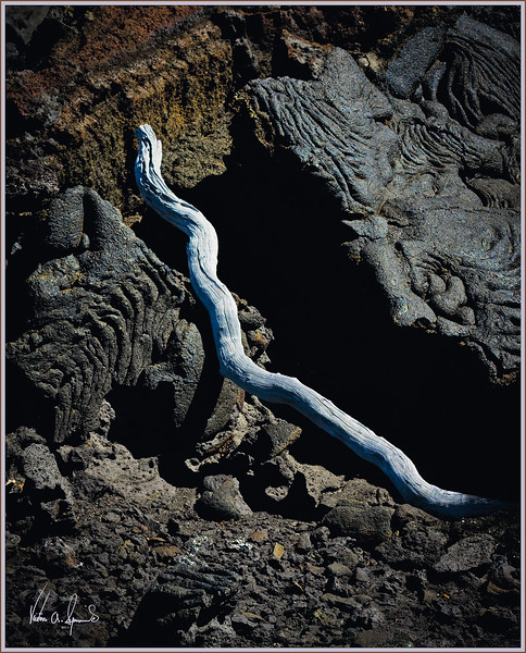 """GALAPAGOS LAVA SNAKE"" - DRIFT WOOD FOUND ON A LAVA FLOW AT SANTIAGO ISLAND (SULLIVAN BAY) IN THE GALAPAGOS ISLANDS, ECUADOR"