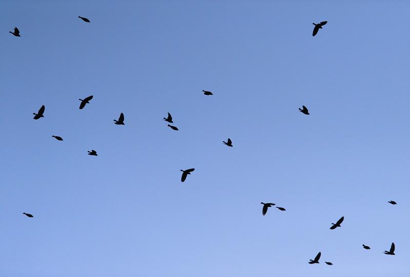 A flight of birds pass over Tempe, Ariz. near sunset on December 3, 2009.