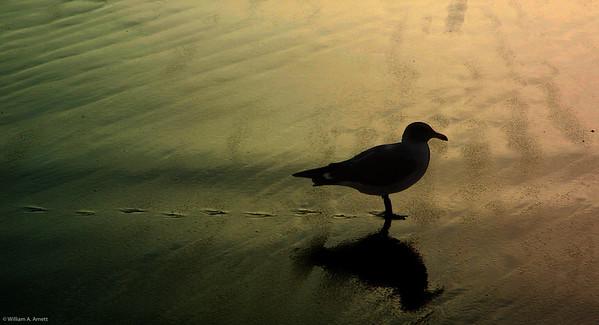 Walkling gull at sunset