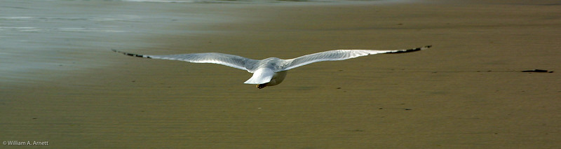 California Gull ?