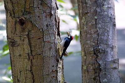 Acorn Woodpecker (Melanerpes formicivorus) saving up for winter