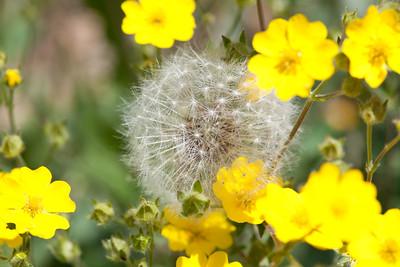 Dandeliion seed