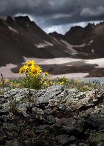 Alpine Sunflower Rydbergia grandiflora