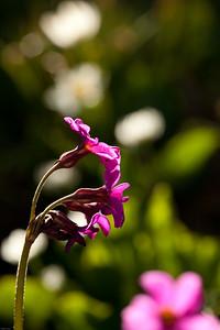 Parry's Primrose (Primula parryi)