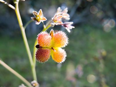 Houndstongue Cynoglossum grande