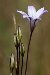 Long-rayed Brodiaea Triteleia peduncularis