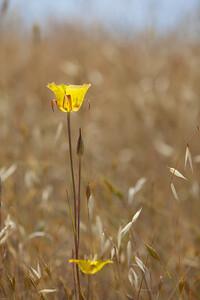 Yellow Mariposa Lily Calochortus luteus
