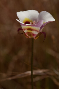 Clay Mariposa Lily Calochortus argillosus
