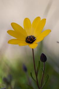 Asteraceae 1 ? garden flower ?
