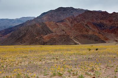 Desert Gold Geraea canescens