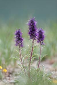 Purple Fringe Phacelia sericea