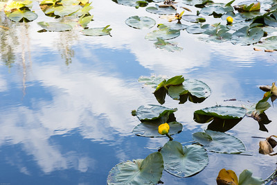 Lily Pads, Mosquito Lake
