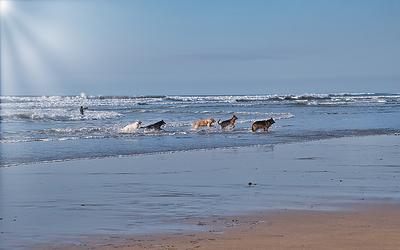 dog-surf