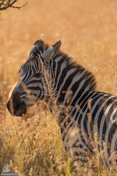 Zebras: black and white in a gold world