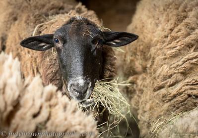 sheep-_89A6991