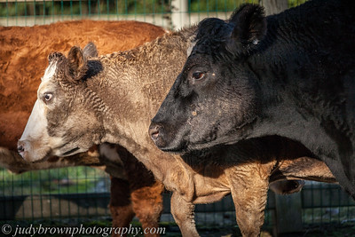 cow--IMG_5855