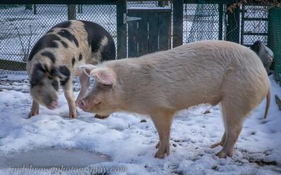 pig--_89A0241