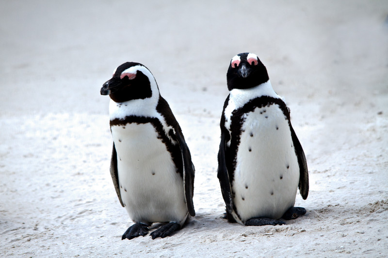 {penguin buddies}