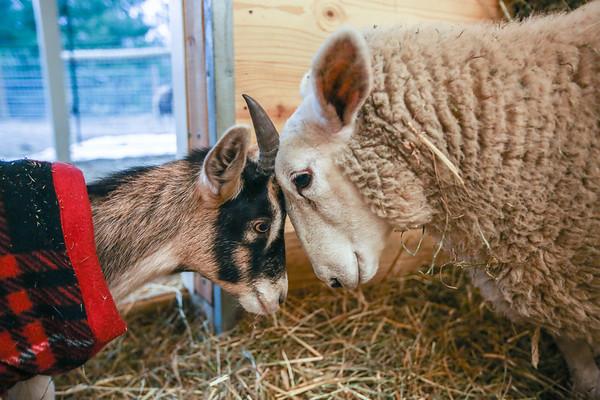 Head to Head | Soulspace Farm Sanctuary