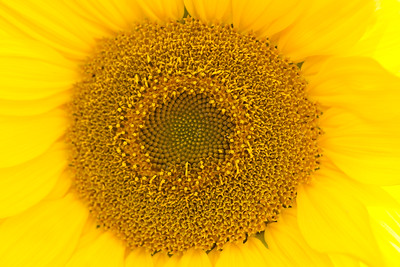 { fibonacci sunflower }