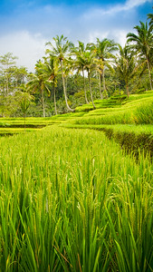 { bali rice field }